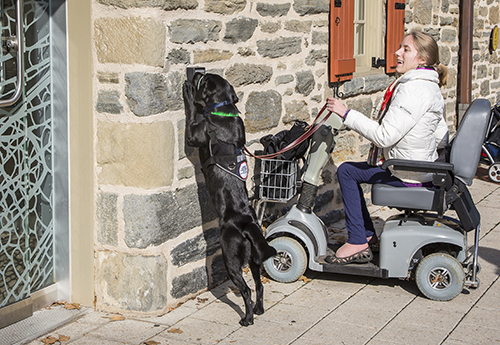 Woman in wheelchair uses a service dog to open a door