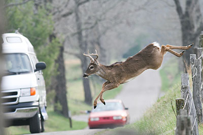 Whitetail buck deer jumping fence in front of vehicles cars